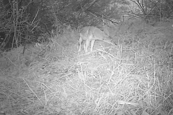 Coyote 802 PM.AVI
