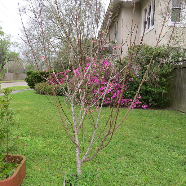 peach tree is loaded with blooms.JPG