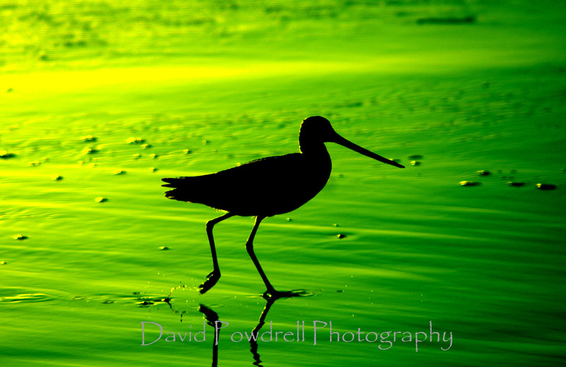 Sandpiper with a green filter.