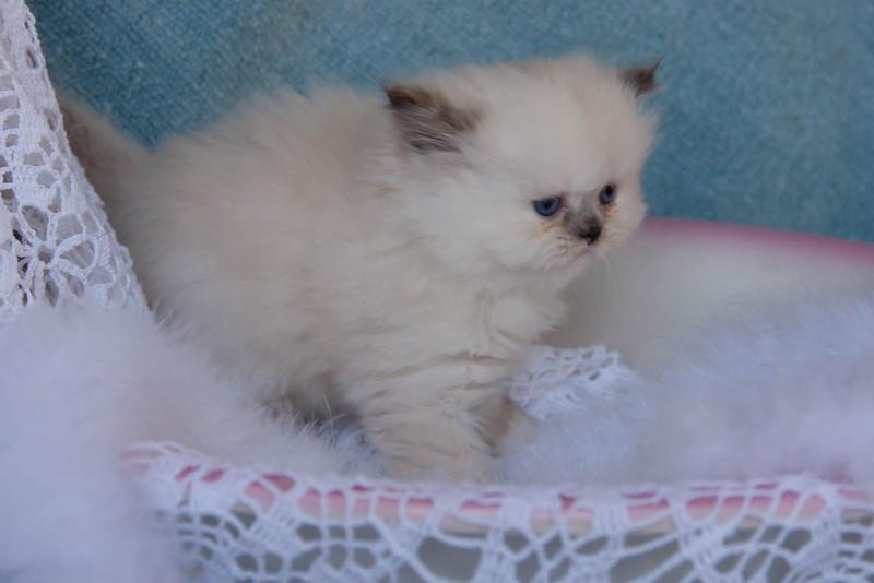 Himi_Kittens_Nov30-7971.jpg