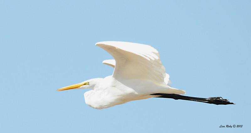 Great Egret - 10/12/13 - Whelan Lake