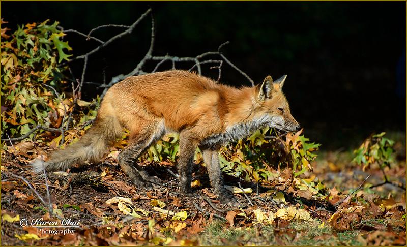 Fox 3 sm.jpg
