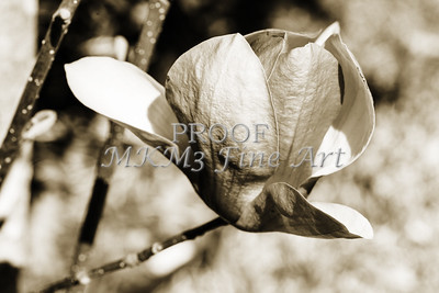 Tulip Tree Blooms In Black and White
