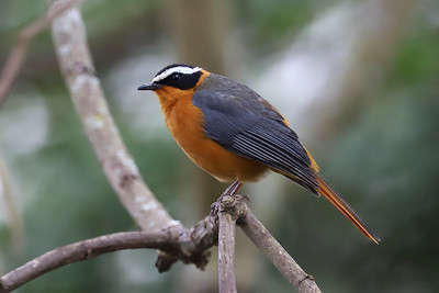 White-browned Robin-Chat