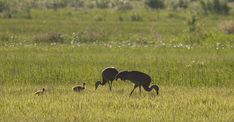 Sandhill Crane family with 2 colts CR226 south of CR133 Meadowlands Sax-Zim Bog MNIMG_0048.jpg