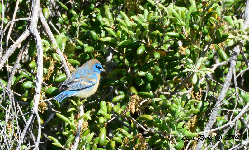 Lazuli Bunting - 4/14/2014 - Santa Ysabel Preserve, East Entrance