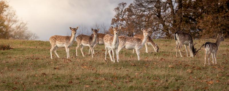 2019 - Deer at Knole Park November 010