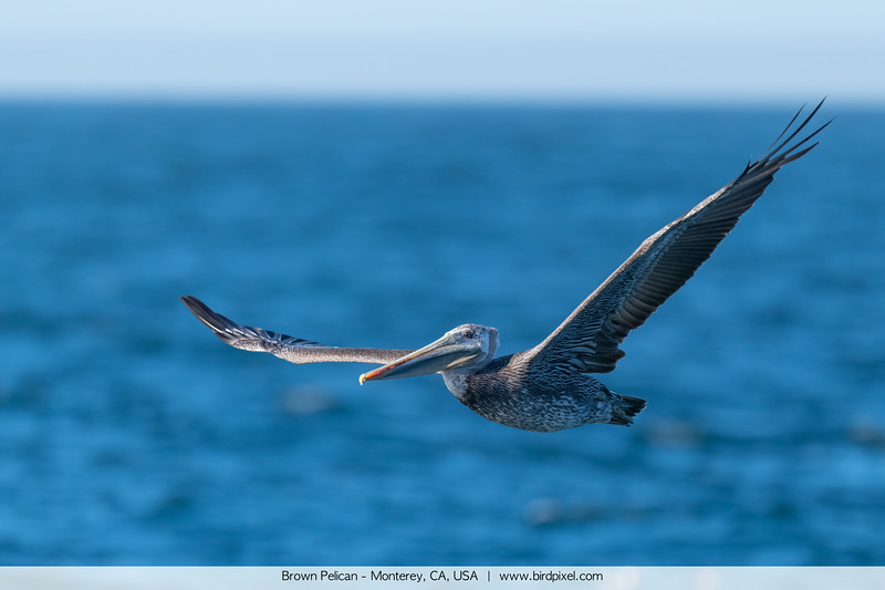 Brown Pelican - Monterey, CA, USA