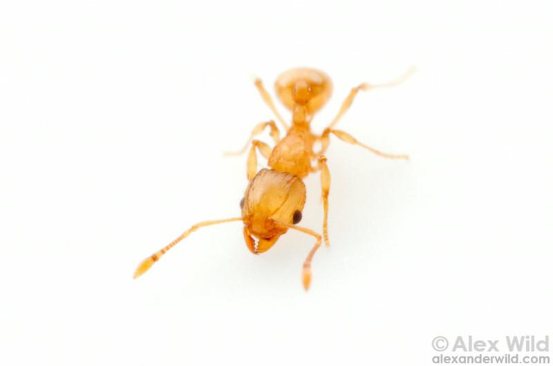 Wasmannia auropunctata, the little fire ant.  Orlando, Florida, USA