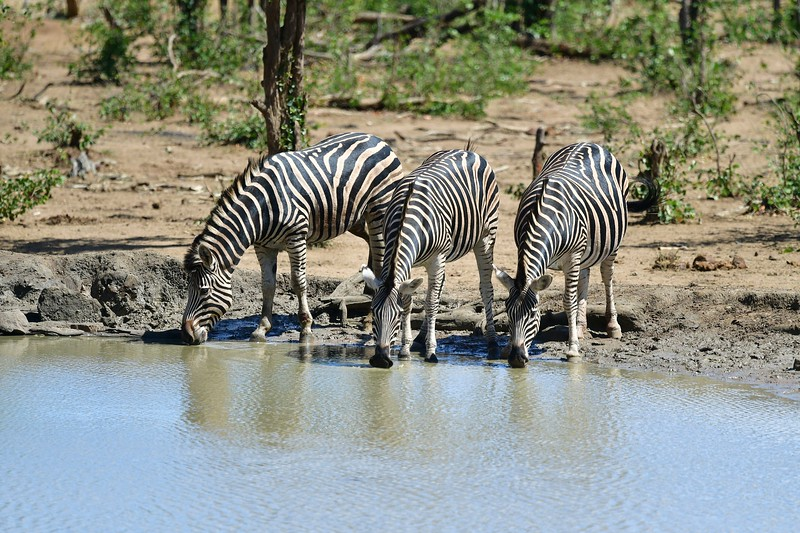 Zebra9.jpg