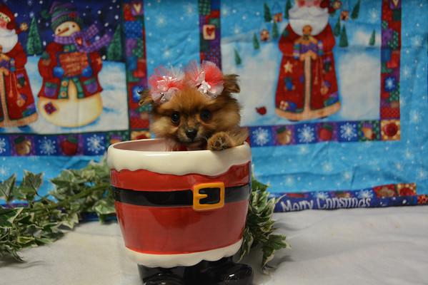Female Pomeranian Puppy # 2841