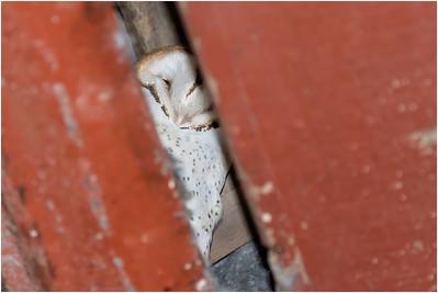 Owls, Nightjars, Potoos, Frogmouths and Oilbird