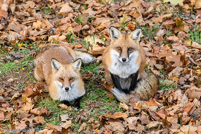 My  Red Foxes