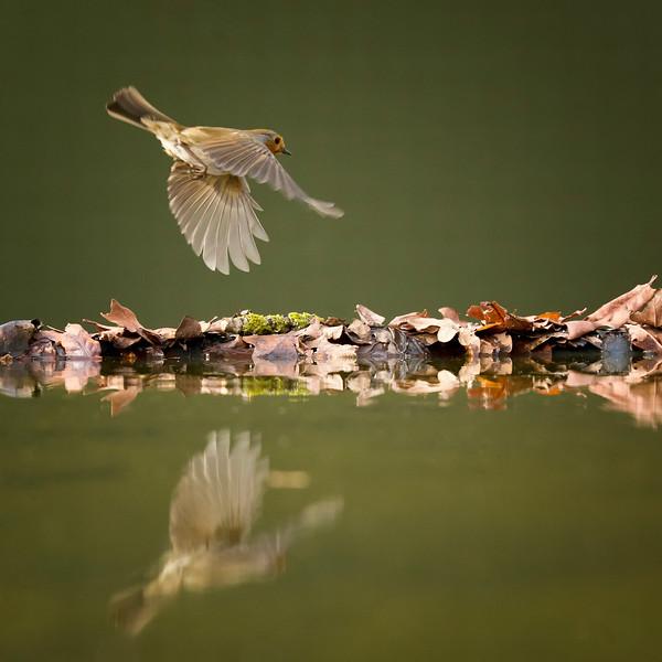Robin Reflection... Central England