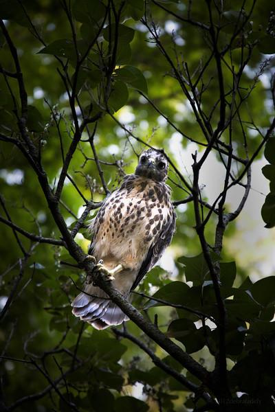 the hawk 1.jpg