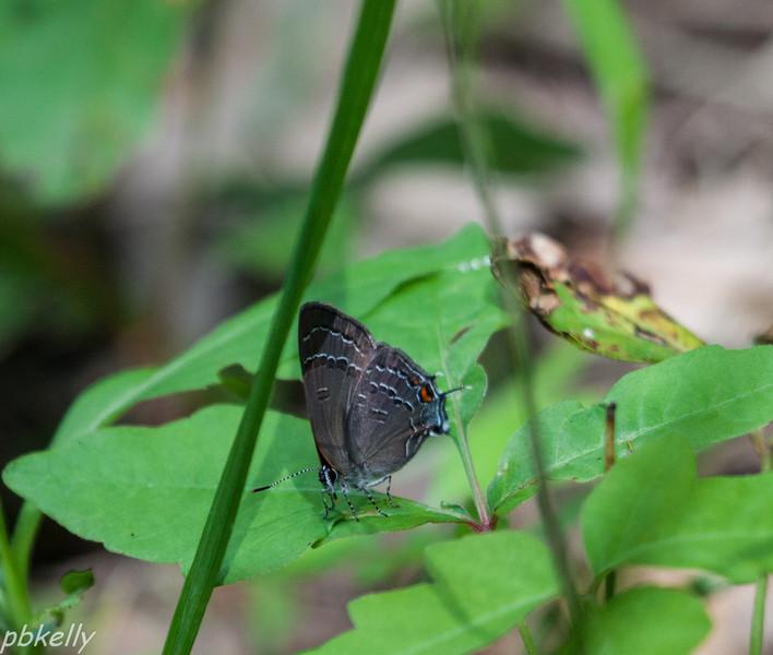 tailed blue 061713.jpg