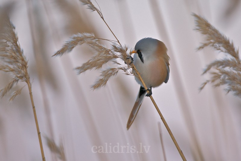 Bearded Tit pearched on a reed / Bārdzīlīte