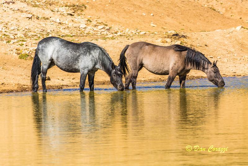 2 Watering Mustangs B-1a copy.jpg