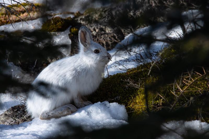 Snowshoe Hare-2833.jpg
