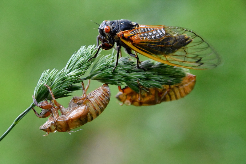 Brood V 17-Year Cicada