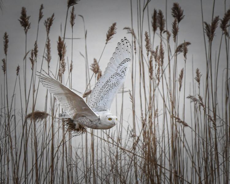 DSC_2459-Edit Snowy Owl Dive Bomber through the woods  horiz 8 x 10.jpg