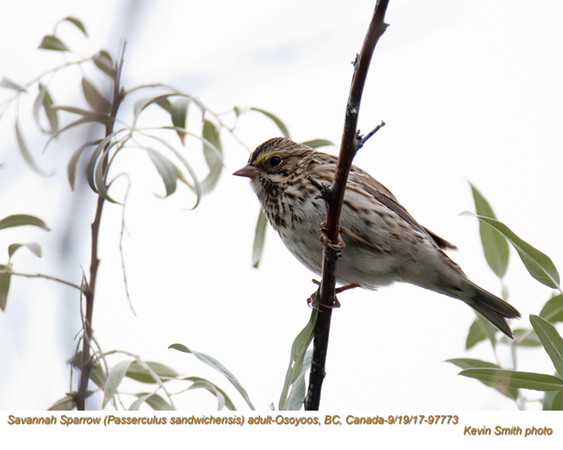 Savannah Sparrow A97773.jpg