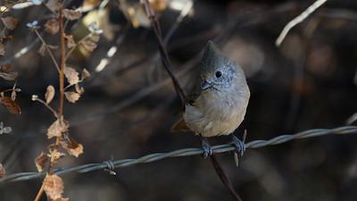 STA Birds 9 - Lark, Swallows, Titmouse, Bushtit, Nuthatch & Creeper