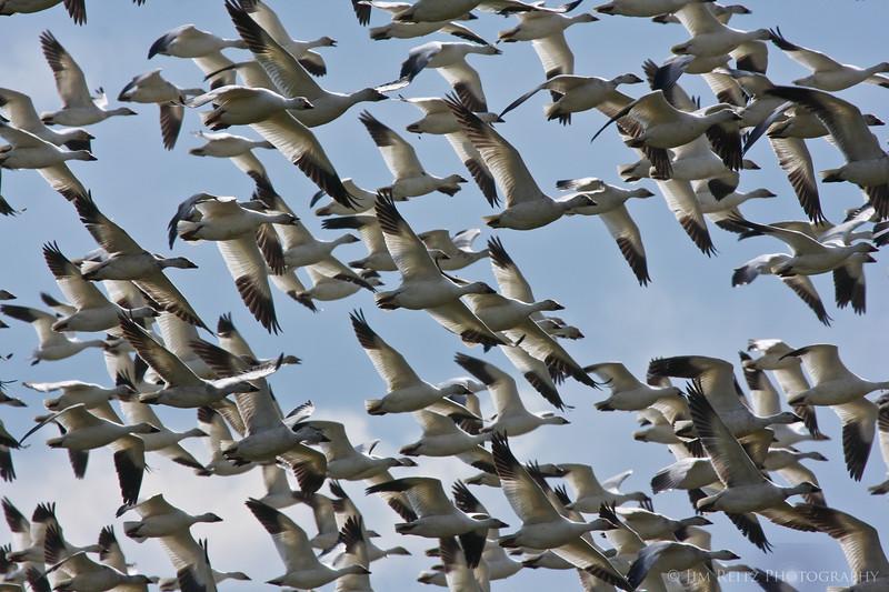 Snow geese, Fir Island, WA