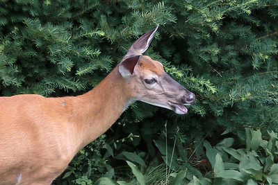 Doe deer returns - 11 Jul 2017 - 1:25 PM