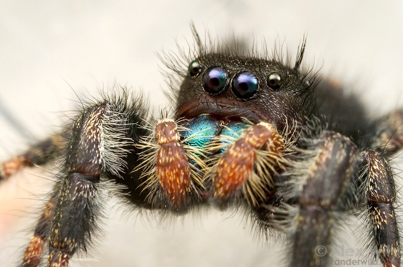 A Phidippus jumping spider is an agile, visual predator.  Urbana, Illinois, USA