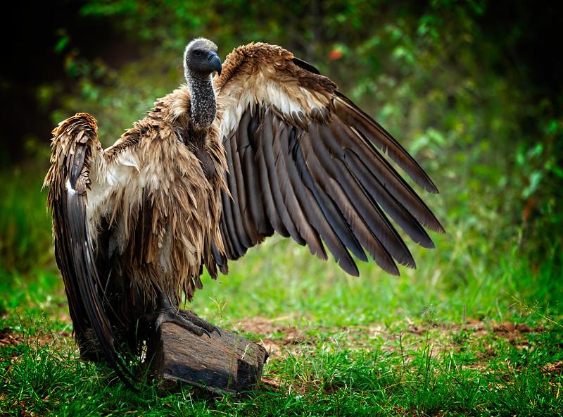 Vulture Open Wings 1
