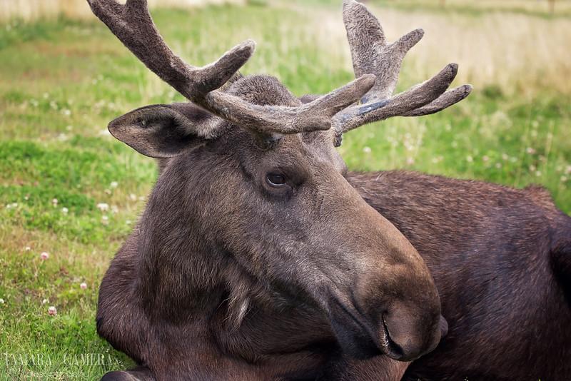Moose6-2-2.jpg