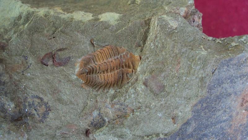 #5122 Ormathops sp. Trilobite (1,5 cm) + Babinka sp. Bivalves dead assemblage (Pos/Neg)