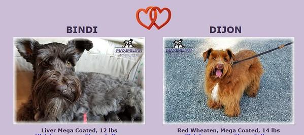 Bindi & Dijon Puppies, DOB 3/19/2021