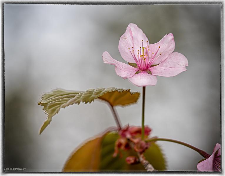 Cherry Blossom at Arboretum