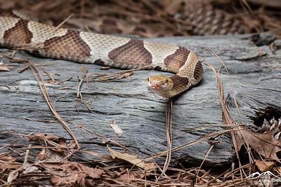 Snakes of Carolina - OBX 2021