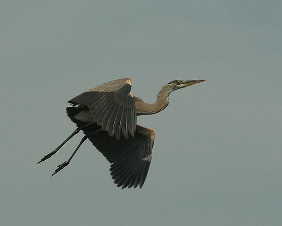 2008 - The Pair of Herons