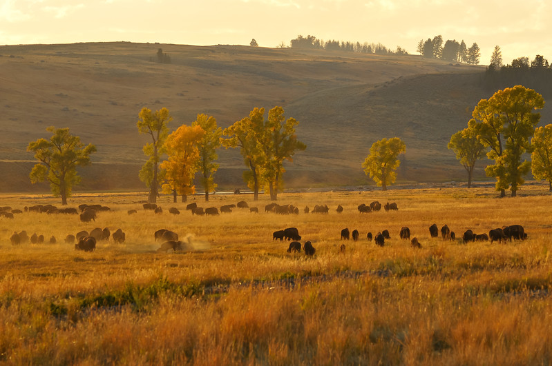 Buffalo, Yellowstone National Park.  Lamar Valley.