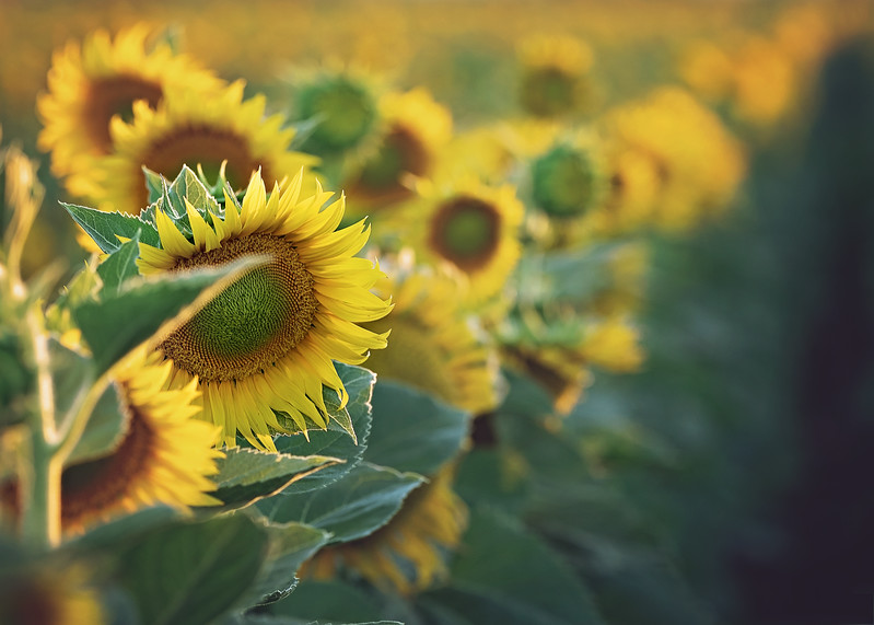 row-of-sunflowers.jpg