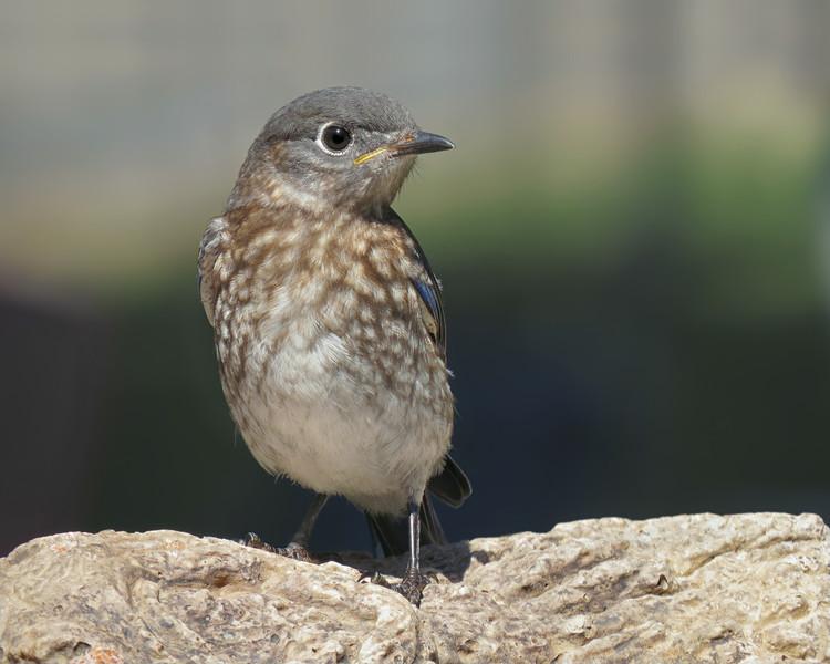 sx50_bluebird_fledgling_boas_215.jpg