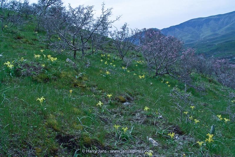 Iris svetlanae