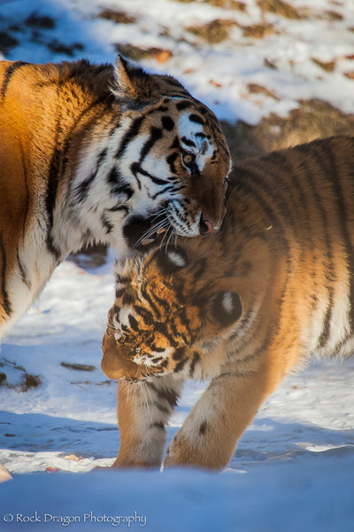 A tiger and her cub at the Calgary Zoo.