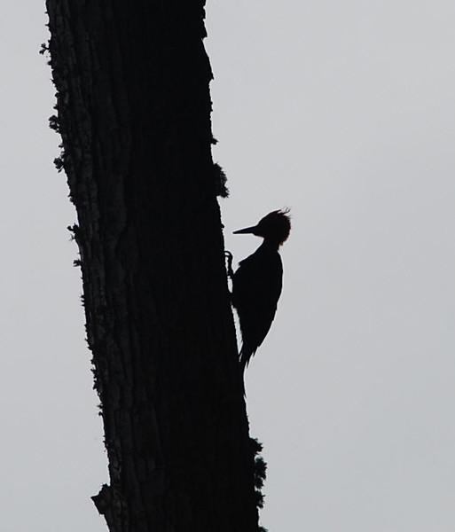 Megallanic Woodpecker in sillouette