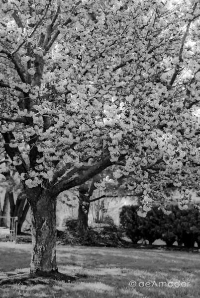 """""""Kwanzan Cherries"""" _DSC0072aeamador©-MDSC"""
