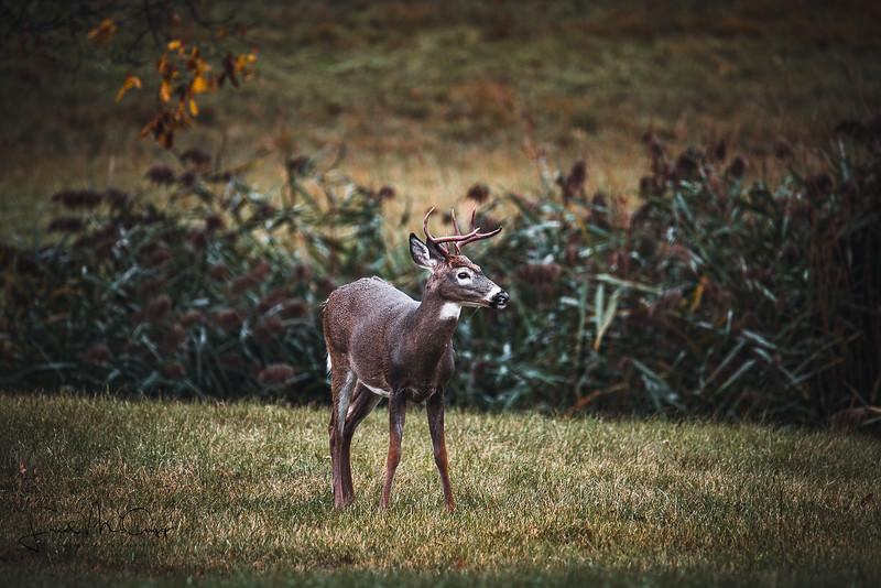 Lone Buck_.jpg