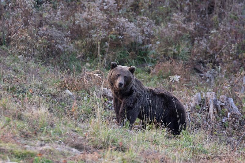 carpathian mountains, bunea lodge, brown bear