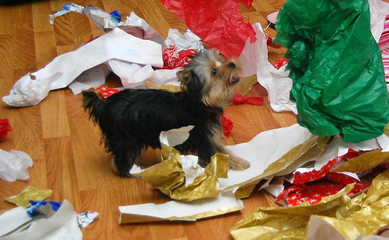 040 Yorkshire Terrier at 5 months.jpg