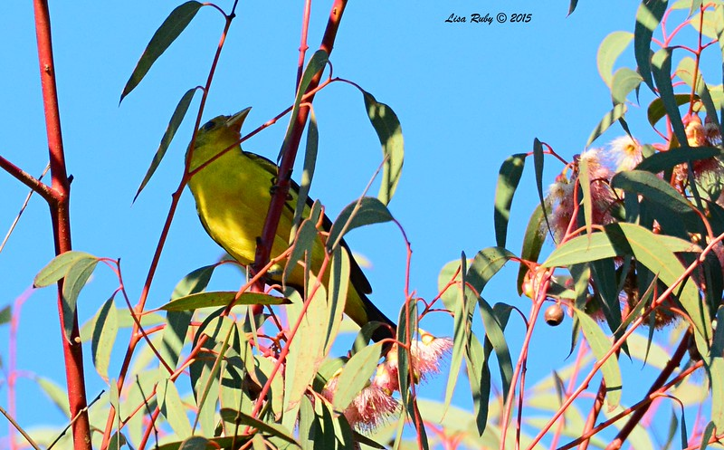 Western Tanager  - 1/17/2015 - Nestor Park (north side of Grove)