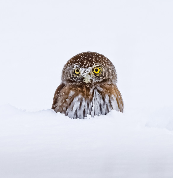 Northern Pygmy Owl Nosedive