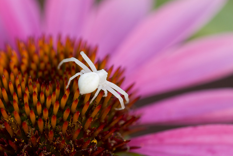 Crab spiders can change there coloring a bit but this one really stands out on the Purple Cone Flower.